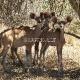 Pietų Afrika (PAR) - Kriugerio Nacionalinis Parkas