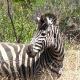 Pietų Afrika (PAR) - Pilanesberg Game Reserve