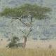 Tolumoje leopardas medyje