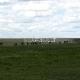 Didžioji antilopių gnu migracija