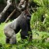 Ugandos gorilos ir poilsis Kenijoje