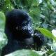 Kalnų gorilos Bwindi racionaliniame parke