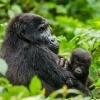 Gorilos ir Kenijos parkai