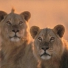 Kenijos ir Tanzanijos safariai